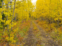 Wilderness trail golden fall aspen boreal forest. A Trail leads deeper into autumn fall boreal forest taiga (aspen, Populus tremuloides) in Yukon Territory Royalty Free Stock Photography