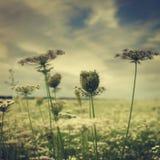 Wilderness. Summer field under morning skies Royalty Free Stock Image