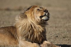 Wildernis die Afrikaans mannelijk leeuwportret zwerven royalty-vrije stock afbeeldingen