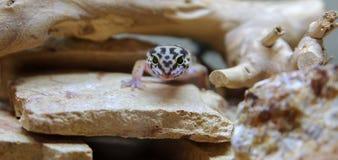 Wildernisontwerper Leopard Gecko stock afbeeldingen