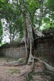 Wilderniste sterke groei, Angkor Wat, Kambodja Stock Foto
