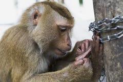 Wildes aktives des Affen und mutig Stockbilder
