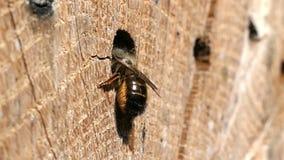 Wildes alleines Fliegen Bienen Osmia Bicornis vor einem Insektenhotel-Schutzkasten im Frühjahr gemacht vom hölzernen Stamm stock video