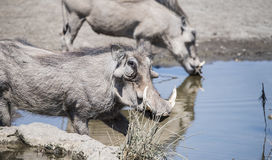 Wildes allgemeines Warzenschwein u. x28; Phacochoerus africanu& x29; an einer Wasserstelle Lizenzfreies Stockfoto