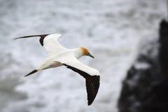Wildes Basstölpelfliegen an der Küste von Muriwai in Neuseeland stockfoto
