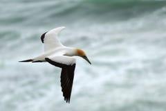 Wildes Basstölpelfliegen an der Küste von Muriwai in Neuseeland stockfotografie