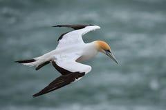 Wildes Basstölpelfliegen an der Küste von Muriwai in Neuseeland lizenzfreie stockbilder