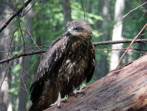 Wildes birdkite Lizenzfreies Stockfoto