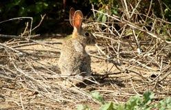 Wildes braunes Kaninchen Stockfoto