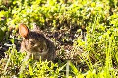 Wildes braunes Kaninchen des Babys, das im hohen grünen Gras sich versteckt Lizenzfreies Stockfoto