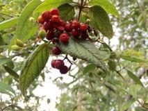 Wildes Cherry@ See Stockbilder