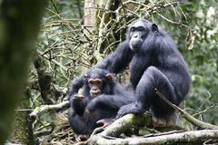Wildes Chimpansees in Natoinal-Park Stockfotos