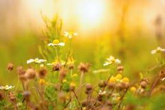 Wildes Daisys an einem sonnigen Nachmittag lizenzfreie stockfotografie