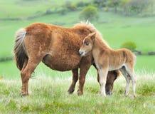 Wildes Dartmoor Fohlen und Mutter Stockbild
