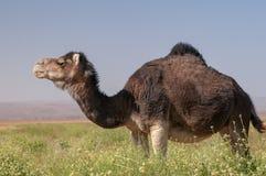 Wildes Dromedar in der grünen marokkanischen Wüste stockfotos