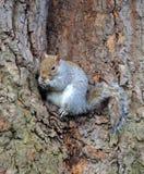 Wildes Eichhörnchen Lizenzfreies Stockfoto