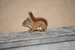 Wildes Eichhörnchen Stockfotografie