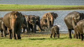 Wildes Elefantkind mit Familie Stockfoto