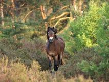 Wildes Exmoor Pony Stockbilder