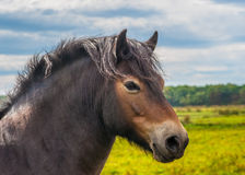 Wildes Exmoor-Pony Stockfoto