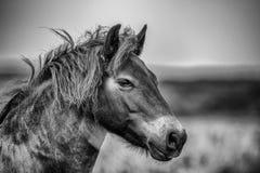 Wildes Exmoor Pony Stockfoto