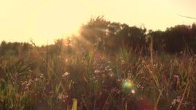 Wildes Feld auf Sonnenunterganghintergrund stock footage