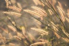 Wildes Feld des Grases auf Sonnenuntergang, weiche Sonne strahlt, warmes Tonen, Linse aus Stockbild