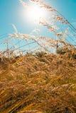 Wildes Feld des Grases, Sonne auf blauem Himmel, Blendenflecke, Weichzeichnung Lizenzfreie Stockfotografie