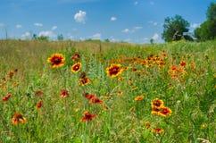 Wildes Feld mit indischen umfassenden Blumen Stockfoto