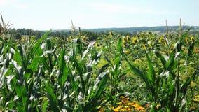 Wildes Feld mit Mais und Sonnenblumen Stockbilder