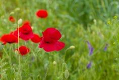 Wildes Feld mit roten Mohnblumen Stockfoto