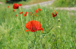 Wildes Feld mit roten Mohnblumen Stockfotos