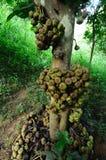 Wildes Ficus Carica Lizenzfreies Stockbild