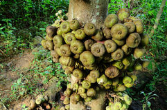 Wildes Ficus Carica Stockfoto
