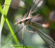 Wildes Fliege Chironomidae Chironomus riparius Lizenzfreies Stockbild