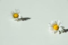 Wildes Gänseblümchen zwei Stockfotografie