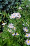 Wildes Gänseblümchenblühen im Freien mit der lila Blumenknospe Lizenzfreies Stockfoto