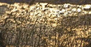 Wildes gelbes Stroh und trocknen während des Sommers stockbild