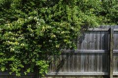 Wildes gelbes und weißes Geißblatt, das über einem Zaun verschüttet wird lizenzfreie stockfotografie