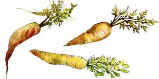 Wildes Gemüse der orange Karotte in einer Aquarellart lokalisiert Stockbilder