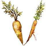 Wildes Gemüse der orange Karotte in einer Aquarellart lokalisiert Lizenzfreies Stockbild