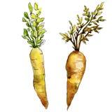 Wildes Gemüse der orange Karotte in einer Aquarellart lokalisiert Stockbild