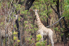 Wildes Giraffe Giraffa camelopardalis ssp antiquorum in Nationalpark Benoue, Kamerun Lizenzfreies Stockfoto