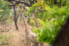 Wildes Giraffe Giraffa camelopardalis ssp antiquorum in Nationalpark Benoue, Kamerun Stockfoto