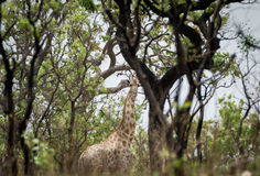 Wildes Giraffe Giraffa camelopardalis ssp antiquorum in Nationalpark Benoue, Kamerun Stockfotografie