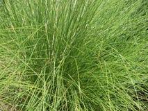Wildes grünes Gras in einer gebürtigen Einstellung Stockbild