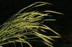 Wildes Gras Stockfotos