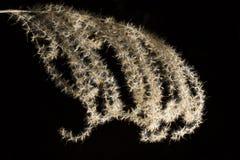 Wildes Gras mit den Samen, die natürlich im Wald wachsen. Lizenzfreie Stockbilder