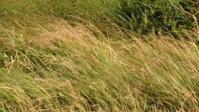 Wildes Gras, das durch starken Wind durchgebrannt wird stock footage