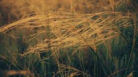 Wildes Gras, das Wind weitergeht stock footage